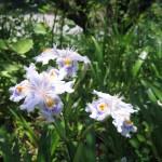 Ôboke fleur