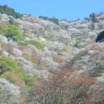 Yoshinoyama_Kamisenbon20140415_Wikipedia_by_8-hachiro